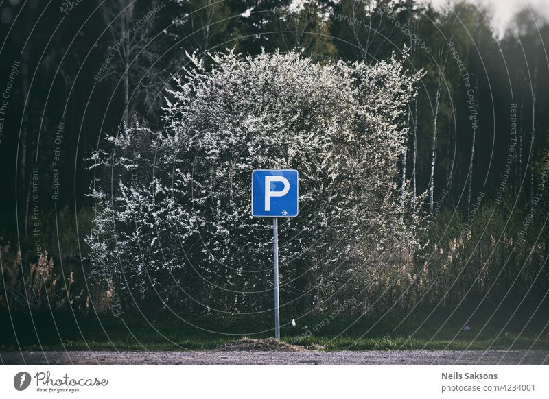 Parking sign and blooming plum tree Blue auto car icon lot notice park parking poll public sky pollen soft buds cherry agriculture colorful closeup seasonal