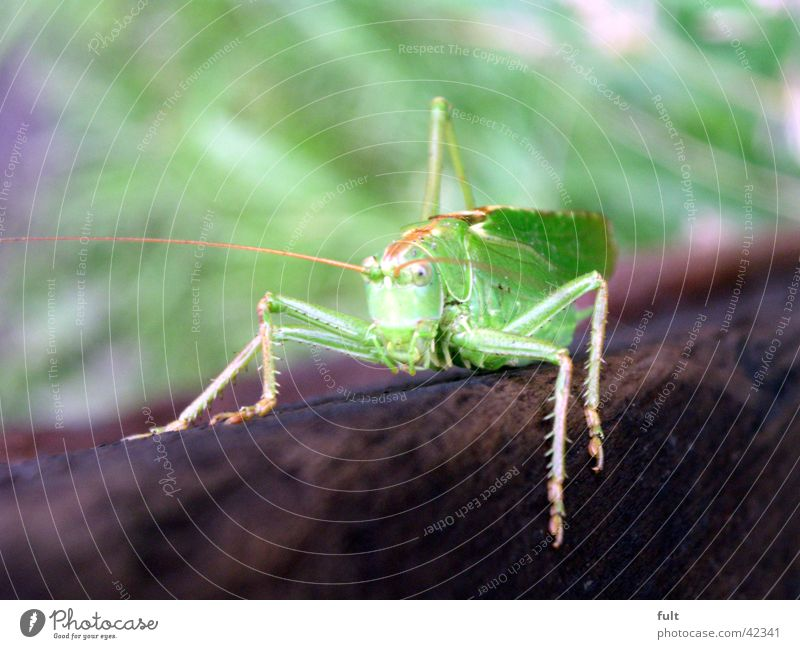 , Locust Green Wood Animal Insect Watchfulness Feeler 4 Brown Relief To hold on Looking Transport Macro (Extreme close-up) Nature Close-up Legs Sit Forwards