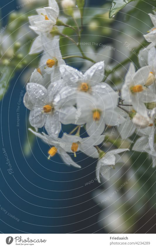 Jasmine flowers with raindrops against blue background Flower Blossom White Close-up Fresh Spring Plant Detail Nature Growth Botany Garden balcony flowers