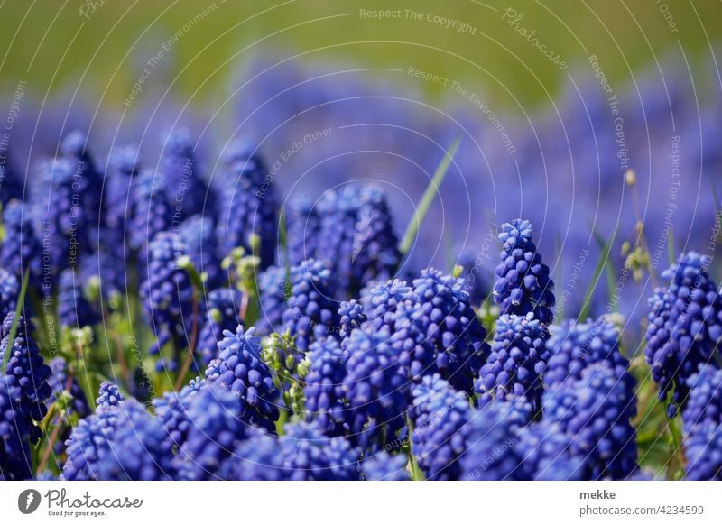 Mountain man on the meadow or also Muscari the grape hyacinth Flower Blossom Nature Plant Spring Summer Close-up Blossoming Violet Garden Green purple