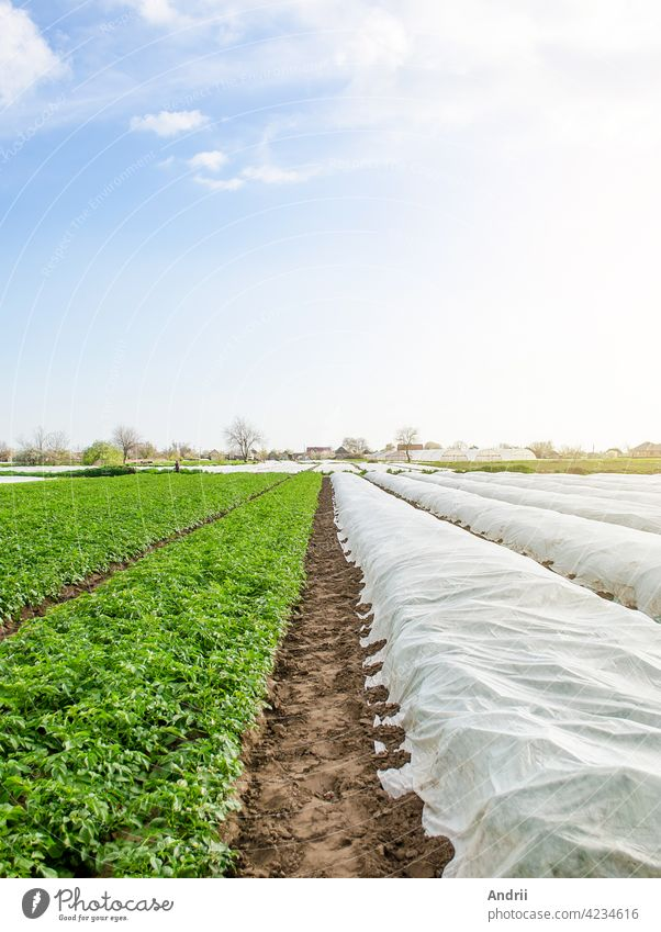 Rows of potato bushes on a plantation under agrofibre and open air. Hardening of plants in late spring. Greenhouse effect for protection. Agroindustry, farming. Growing crops in a colder early season.
