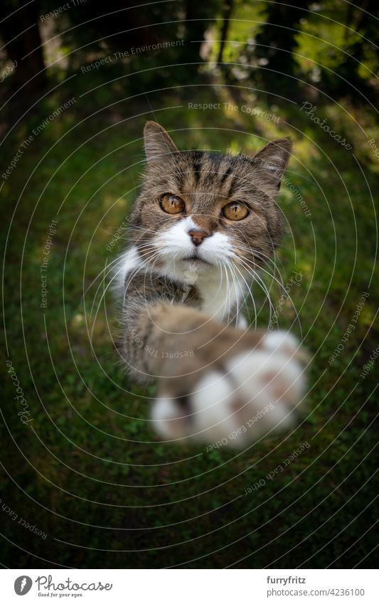 cute tabby white cat on green grass raising paw trying to reach snack outdoors meadow lawn garden front or backyard nature british shorthair cat looking up