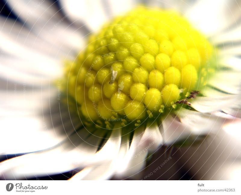 daisies Daisy Blossom Leaf Yellow White Macro (Extreme close-up) Style Close-up knobbel depth blur leaves bullets Marko