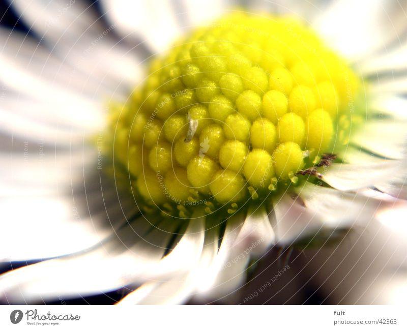 White Leaf Yellow Style Blossom Daisy Macro (Extreme close-up)