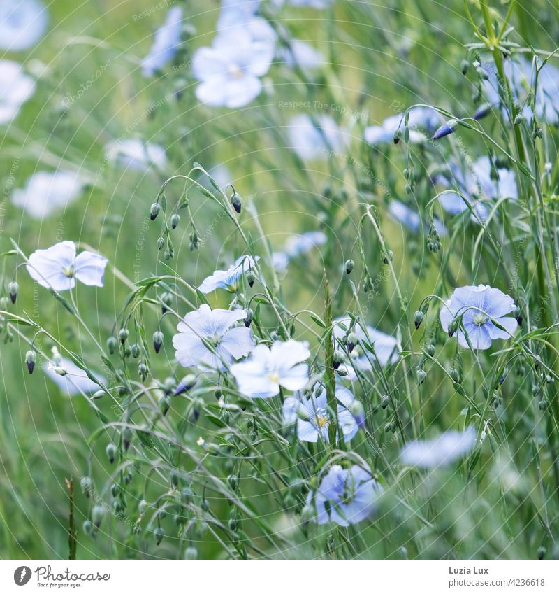 blue flax flowers in the wind, delicate and partly blurred Flax linseed blossoms Blue Delicate Meadow May Light Plant Blossom Blossoming Flower Green