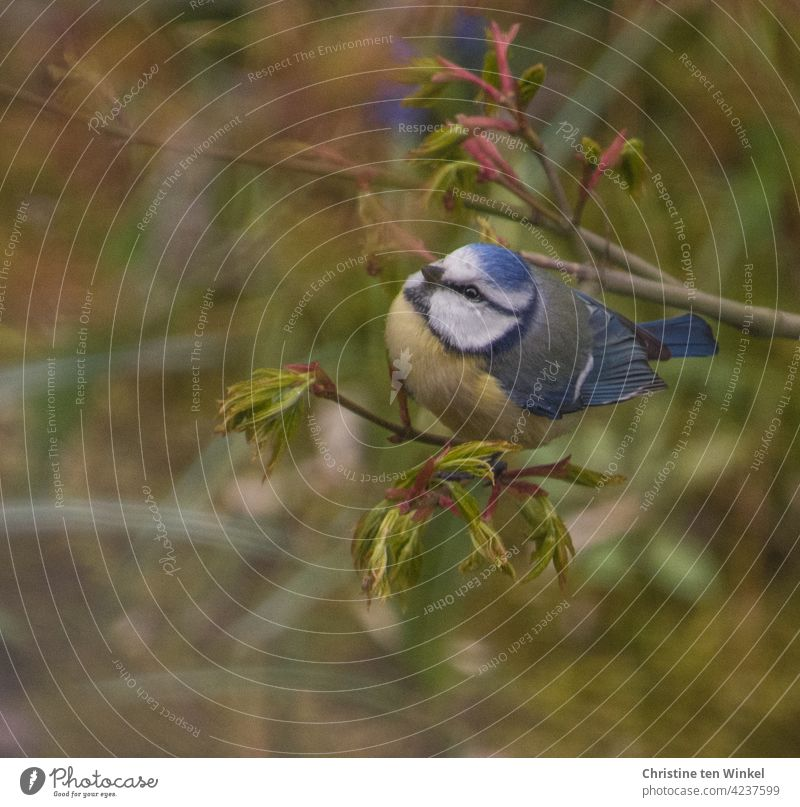 Small lively blue tit in the garden on a branch with freshly sprouting leaves Tit mouse songbird Bird garden bird Cyanistes caeruleus Garden Nature Wild Animal