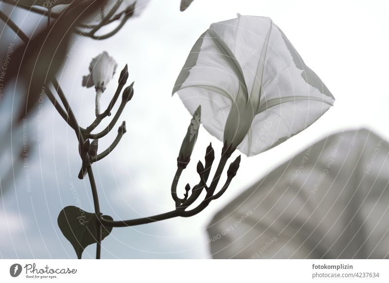white climbing plant flower (winch) Blossom Morning glory White Fragrant Blossoming small flower Elegant come into bloom Easy Delicate tender flowers