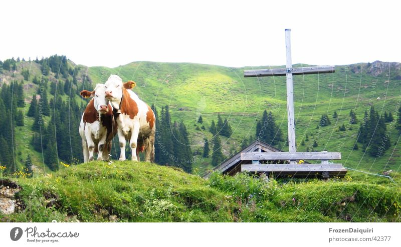 A cross with the cows... Wooden bench Wooden cross Alpine pasture Green Coniferous trees Forest Federal State of Tyrol Agriculture tyrolean mountain cows Rock