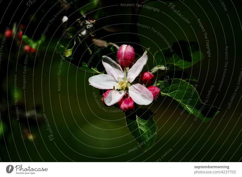 apple blossom dark image protruding flower with buds Deserted irrelevant 1 White-red flower Background dark green Exterior shot Flower on branch with 3 leaves