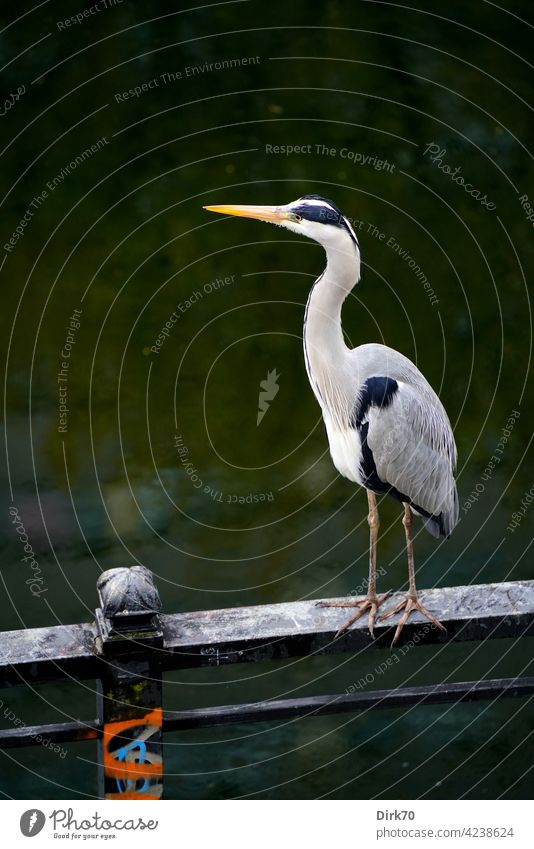 Grey heron on the railing of the Spree Canal in Berlin Bird Heron herons Animal Nature Exterior shot Colour photo Wild animal Day Deserted 1 Animal portrait