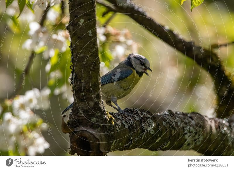 A Little Blue Tit in the Cherry Tree portrait White Yellow songbird Animal Nature tweet Song Sing Full-length Animal portrait Exterior shot Colour photo