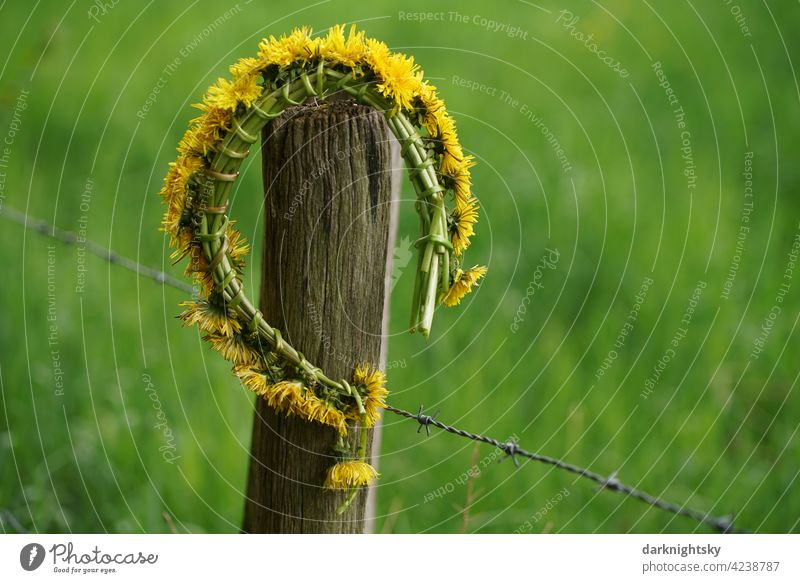 Flower wreath as an ornament of dandelions or dandelions in the countryside, araxacum sect. Ruderalia Country life Love Jewellery Nature Farm Life that Fence