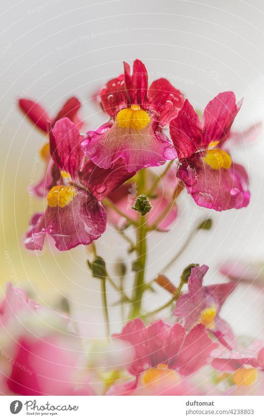 red yellow elf mirror plant in rain, shallow depth of field Blossom raindrops Wet Flower Plant blossom Nature Garden Pistil Green Rain Shallow depth of field