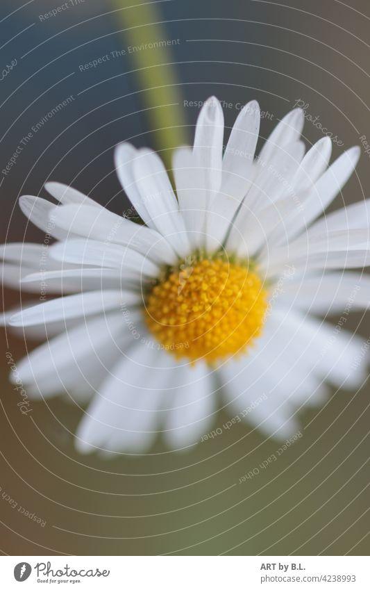 Daisies upside down Flower little flowers White Yellow Garden Close-up Daisy floral beauty Beauty & Beauty Bella daisy