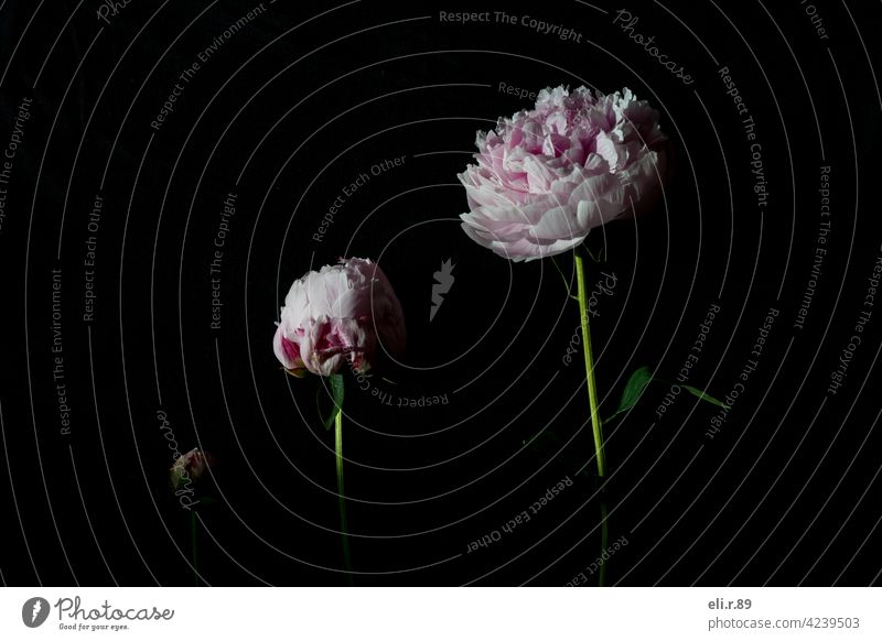 Peonies - different stages of flowering flowers Peony Pink Spring pretty Blossom Flower Nature Colour photo Close-up Plant Fresh Blossoming Deserted