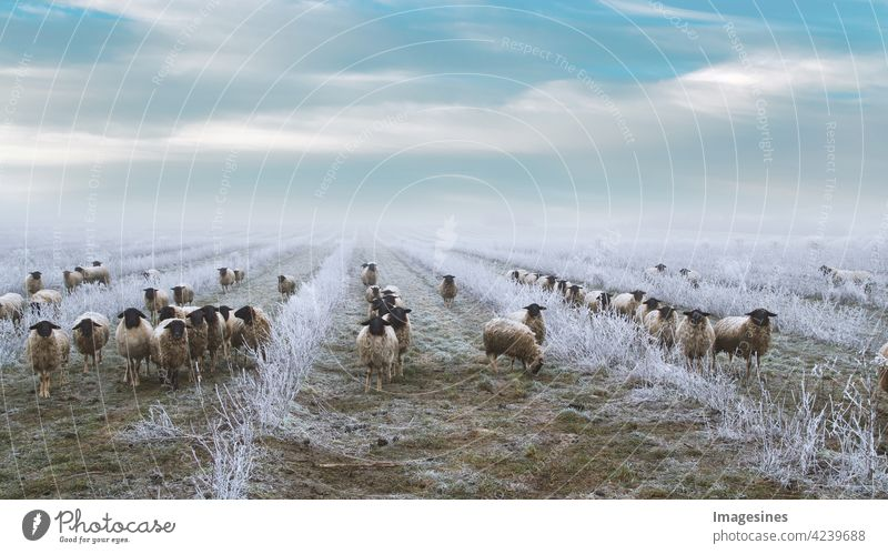 Grazing flock of sheep in a plantation of chokeberry bushes. Frosty winter landscape. Weed control with sheep Willow tree Flock Plantation Aronia- Bushes chill
