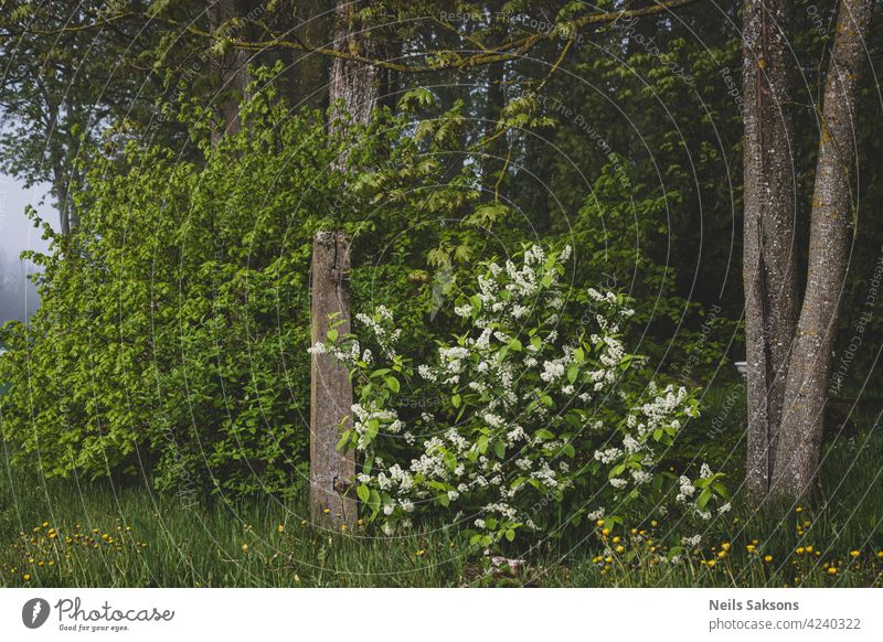 Blooming branch of bird cherry over a broken cemetery fence in misty morning flower nature white prunus padus old springtime growth floral green petal beauty