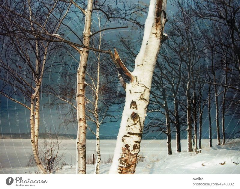 Covered Tree Birch tree Tree trunk Tree bark Birch bark Twigs and branches Branchage Snow Landscape Nature Environment Sky Clouds Horizon Winter Colour photo