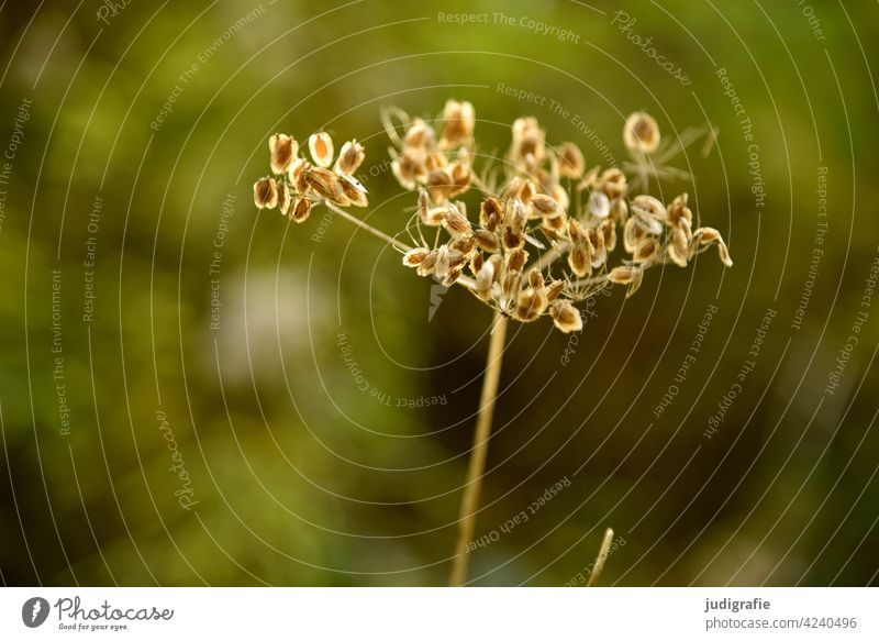 meadow Meadow Umbellifer Apiaceae Plant Nature Blossom Summer Wild plant Shallow depth of field Green Shriveled Transience Detail Sámen seed stand