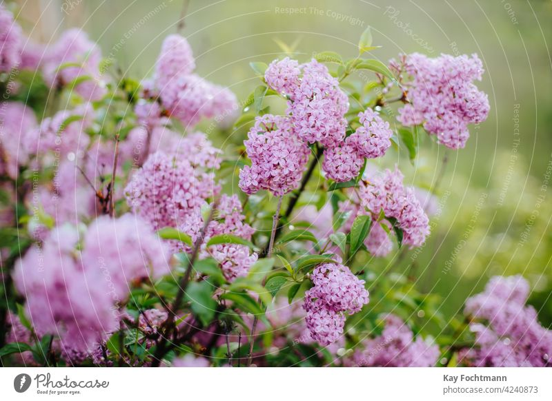 close-up of pile of lilac agriculture backdrop beautiful beauty blooming blossom botany bouquet branch bush colorful countryside decorative detail floral flower