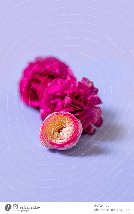 Still life with pink ranunculus flowers on purple background Buttercup Still Life Flower blossoms Lie three Plant Isolated Image Studio shot colourful