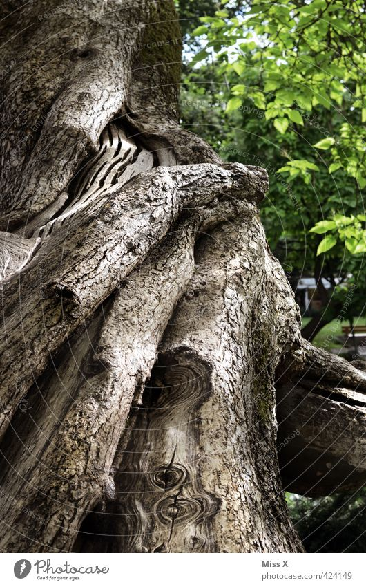 engulfments Tree Forest Old Gigantic Large Tall Senior citizen Nature Growth Tree trunk Tree bark Nature reserve Branch Knothole Colour photo Exterior shot