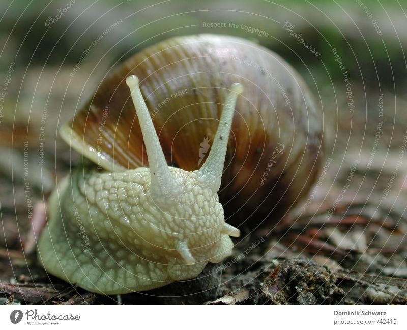 highwayman Vineyard snail Snail shell Feeler Slimy Woodground Crawl Slowly Speed Protection