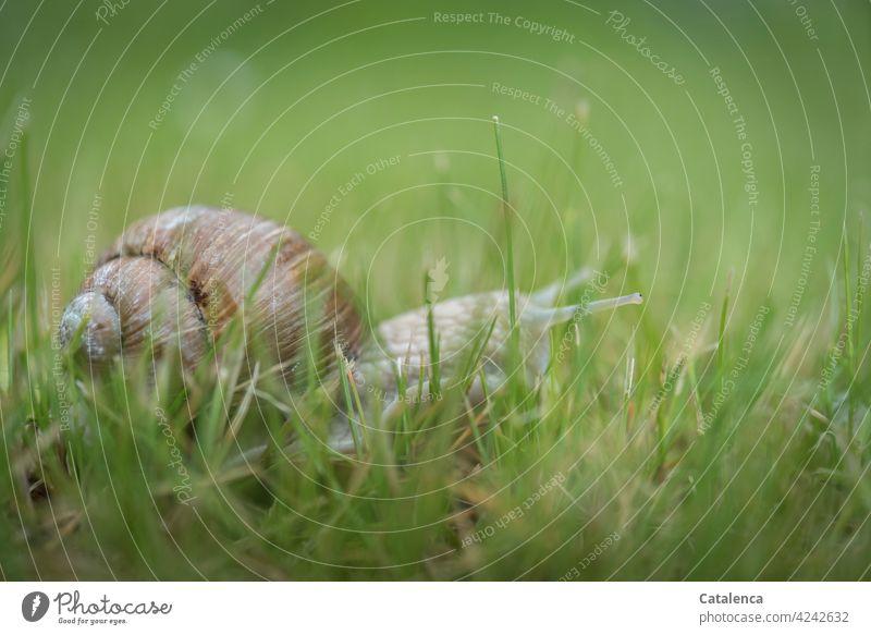A snail carefully feels its way through the grass Nature fauna flora Animal Crumpet escargot creep Snail shell Plant Grass blades of grass Lawn Meadow Brown