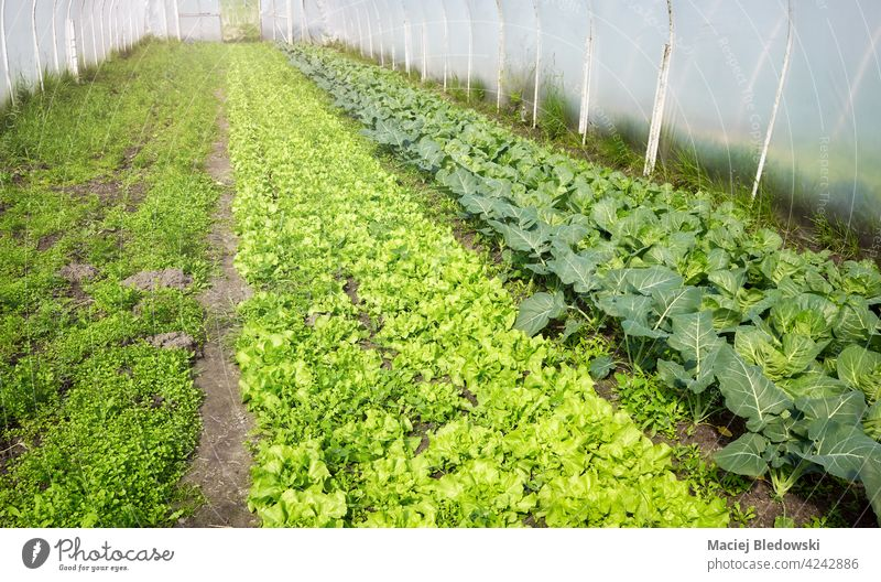 Organic vegetable cultivation in polytunnel. farm organic greenhouse lettuce patch field natural garden agriculture rural harvest soil land nature countryside