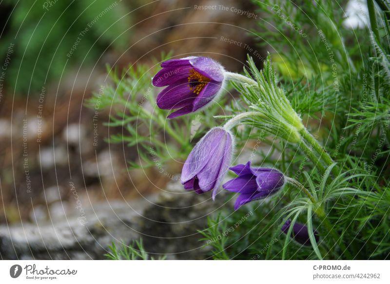 Cowbells or kitchen bells Flower purple Green Blossom Spring ranunculaceae cowbell Crowfoot plants common pasque flower venomously poisonous plant