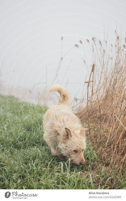 early morning walk in a fog Dog Fog mist Nature riverside countryside Walking walking a dog Mammal Pet Freedom Animal Animal portrait sniffing Movement Meadow