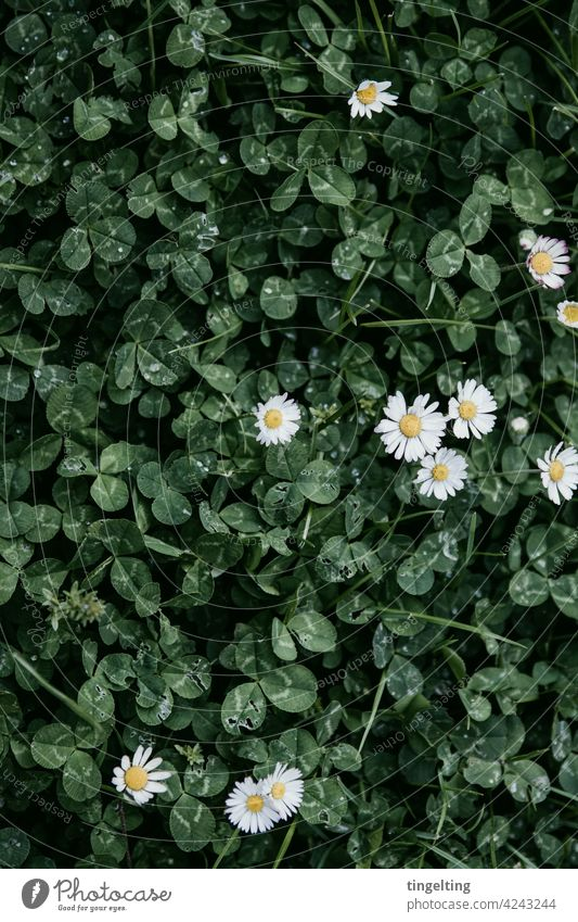 Clover and daisies Daisy White Green Dark raindrops Ground from on high background Nature Meadow Lawn blossom Happy symbol of luck Subdued colour Yellow