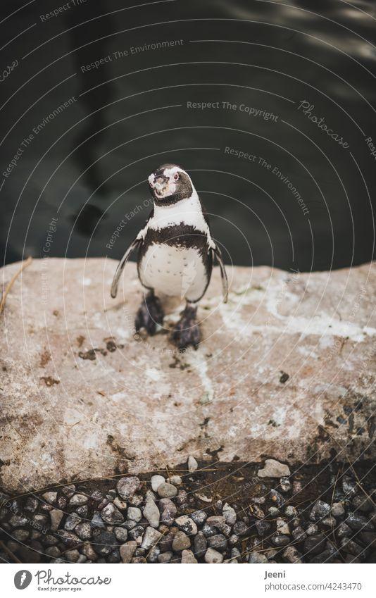 Next Top Model portrait Penguin Black White eyeballed Water Sea coast Animal Animal portrait Animal face animal portrait Dive Wet Bird Waddle Ocean