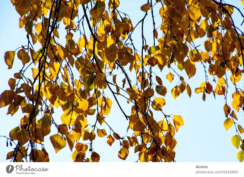 colour changes Autumn leaves Gold Sunlight Autumnal Birch tree twigs Change light blue Sky Illuminating Orange Sky blue Leaf Illuminate Twig Tree sunny