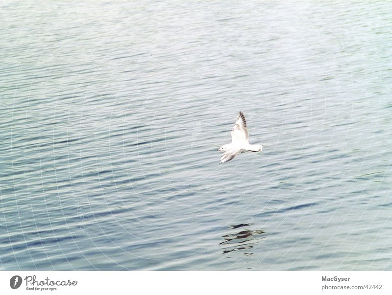 Water Bird Seagull Surface of water Floating Flight of the birds Water reflection