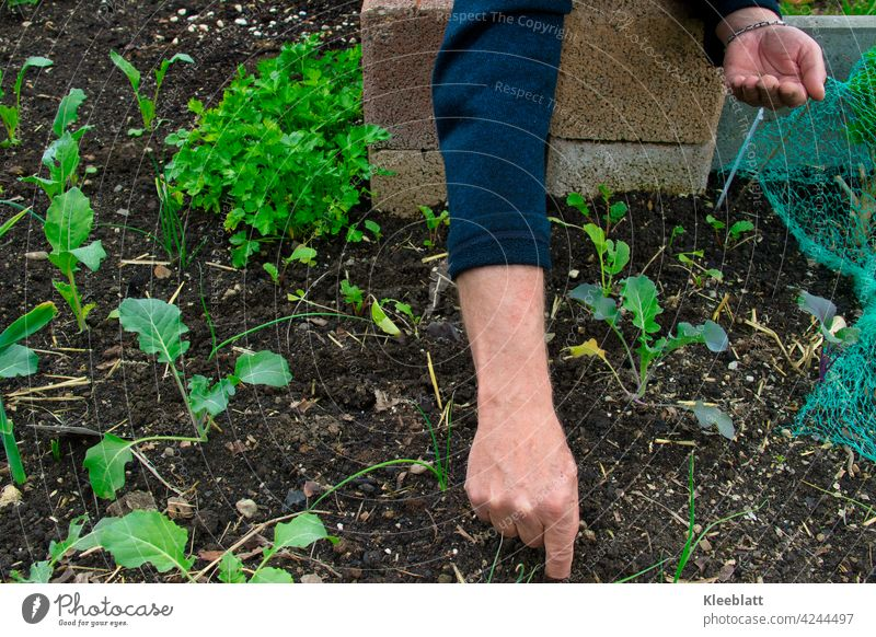 Men's hands put vegetable seeds into the soil - you can see the first different tender vegetable plants in a raised bed Hand Men`s hand Sámen Kohlrabi plant