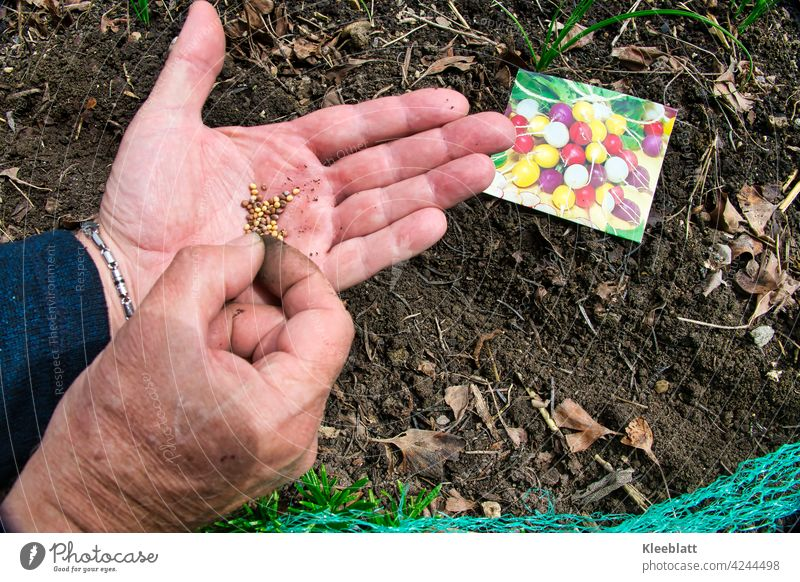 Colorful radish seeds on one man hand are hidden in the ground with the other hand Radish Sámen Hand hands Earth Vegetable Gardening raised Food at home