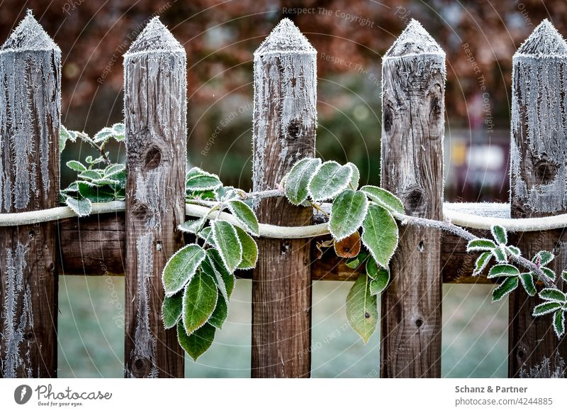 Garden fence with green leaves in frost Tendril Winter Frost icehall frogs Cold chill Ice lattice fence Wooden fence winter Crystal Frozen Freeze Ice crystal