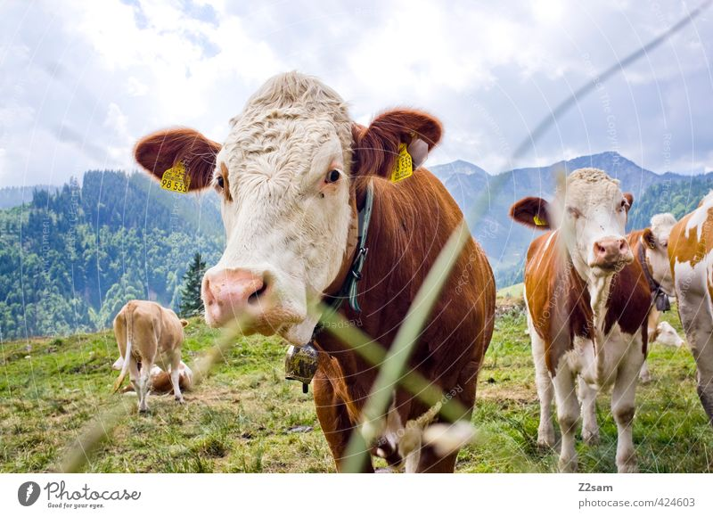MUHLIKUH Vacation & Travel Trip Summer vacation Mountain Hiking Nature Landscape Sky Meadow Alps Cattleherd Cow Herd Looking Stand Sustainability Calm