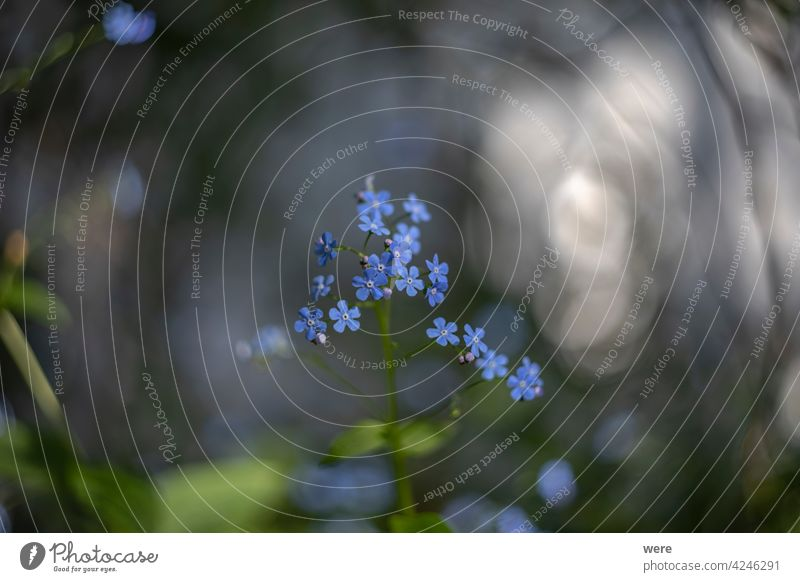 Caucasus forget-me-not flowers against a blurred background Background Blossoms Boraginaceae Brunnera macrophylla Ornamental plant Shallow depth of field