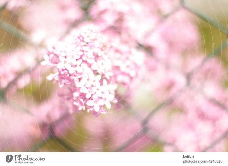 Pink lilac flower pushes through green wire mesh fence Lilac Lilac bush Blossom Spring Colour photo blurriness Fragrance lilac blossom Close-up