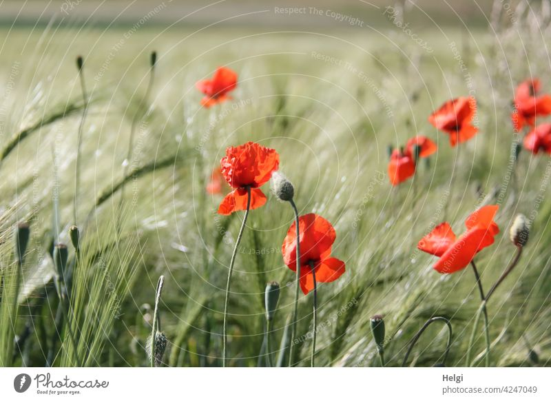 mo(h)nday again - poppies blooming in a not yet ripe barley field poppy flower Poppy blossom poppy bud Barley Barleyfield Flower Blossom Agriculture Spring wax