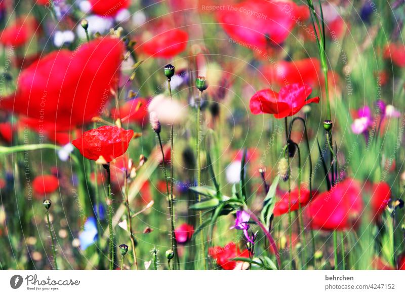 on m(h)nday i see red poppy flower blurriness Leaf Grass Blossoming Beautiful weather Summery Landscape Light Agricultural crop pretty Meadow Wild plant