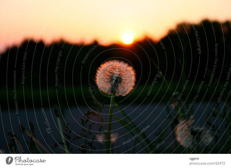 Dandelion at sunset Sunset Nature