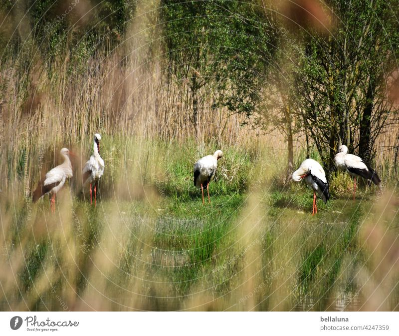 Caliph Stork - the white storks preen and chatter. White Stork White Storks Bird Animal Exterior shot Colour photo Wild animal Deserted Day Nature Environment