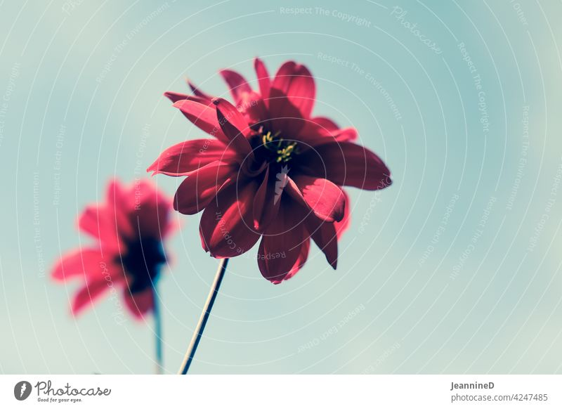 two red flowers in front of the sky Red Sky blurriness Nature by oneself against the sky Emotions Day Subdued colour out Blossom Environment Plant Deserted