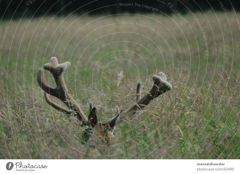 Grass Wild animal Hunting Antlers Deer Trophy Red deer
