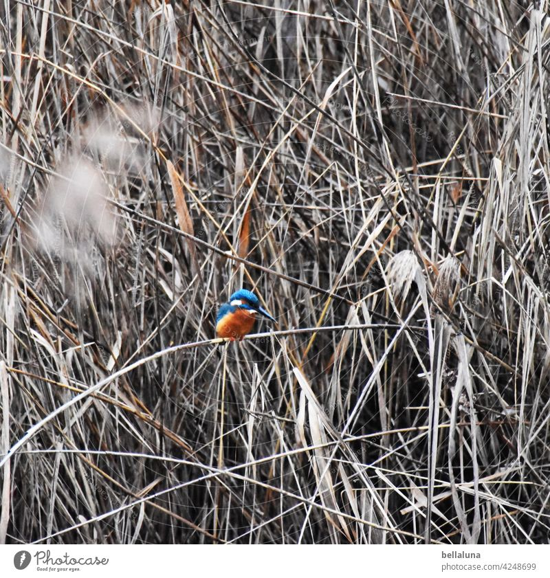 Kingfisher in the winter reeds kingfisher Bird Exterior shot Colour photo Wild animal Animal Nature Environment Deserted Animal portrait naturally Freedom Beak