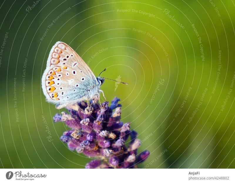 Bluebottle on lavender blue Butterfly Lavender Blossom Summer