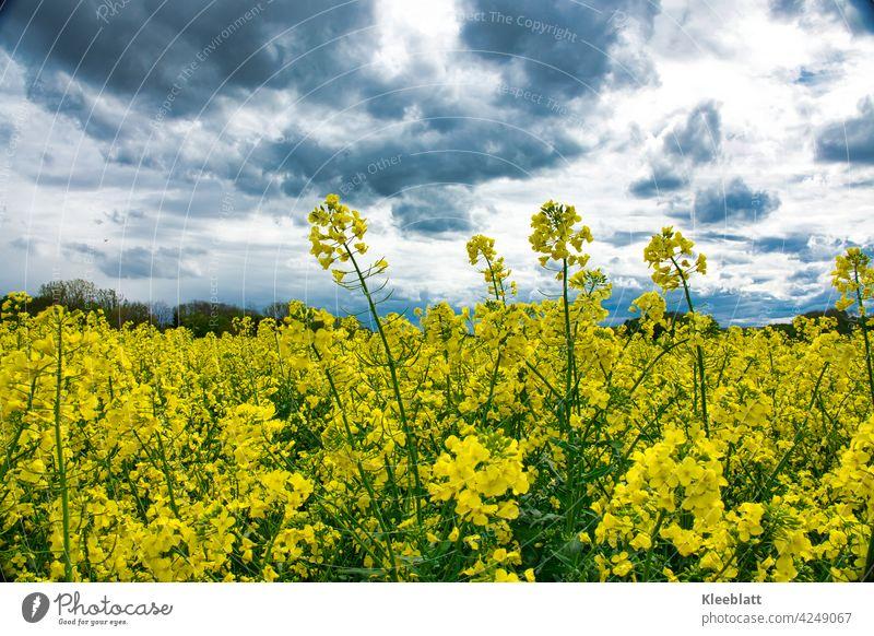 Bright yellow rape field over which dark rain clouds pass, Yellow luminescent Canola Canola field Oilseed rape oil organic Bioeconomy organic farming peasant
